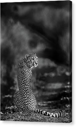 Cheetah Canvas Print - The Look Back by Jaco Marx