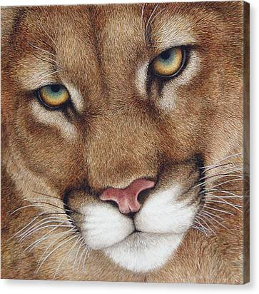 The Look Cougar Canvas Print