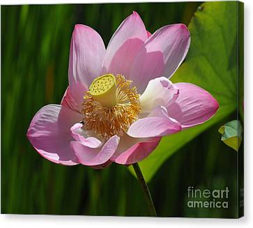 The Lotus Canvas Print by Vivian Christopher
