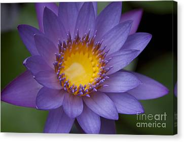 Panama Pacific Water Lily Canvas Print - The Luxury Of Things by Sharon Mau