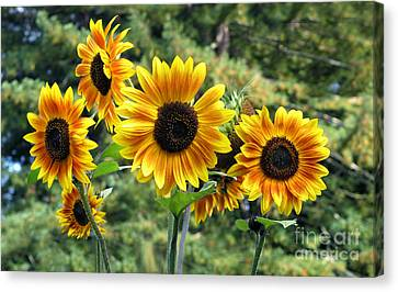 The Magic Of Sunflower Power Canvas Print by Wernher Krutein