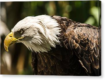 Canvas Print featuring the photograph The Majestic American Bald Eagle by Yeates Photography