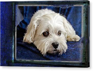 The Maltipoo Bailey On A Blue Background Canvas Print by Harold Bonacquist