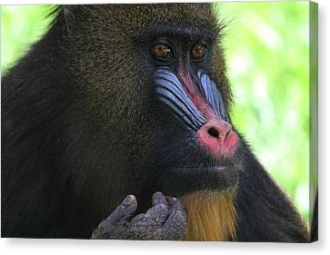 Mandrill Canvas Print - The Mandrill by Dan Sproul