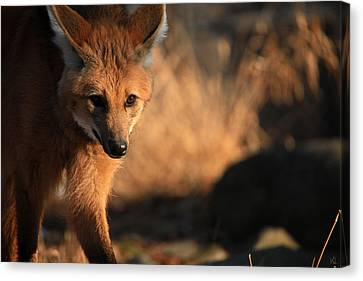 The Maned Wolf Canvas Print by Karol Livote