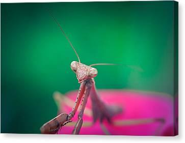 The Mantis Canvas Print by Shane Holsclaw