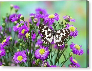 The Marbled White Butterfly, Melanargia Canvas Print by Darrell Gulin