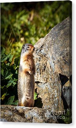 The Marmot Canvas Print by Robert Bales