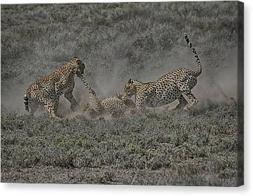 Canvas Print featuring the photograph The Mating Game 2 by Gary Hall