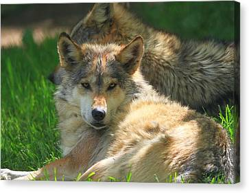 The Mexican Wolf Canvas Print by Dan Sproul