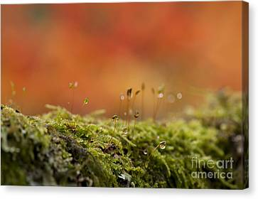 The Miniature World Of Moss  Canvas Print by Anne Gilbert