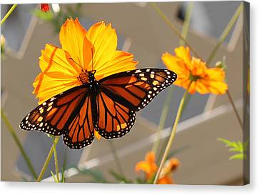 Canvas Print featuring the photograph The Monarch by Cathy Donohoue