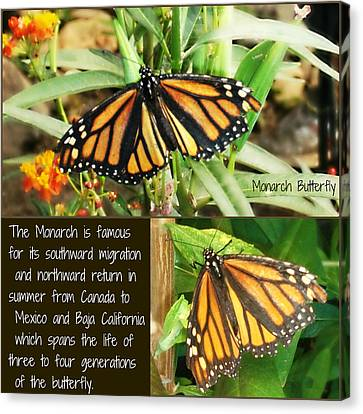 Canvas Print featuring the photograph The Monarch Story by Mindy Bench