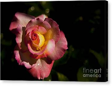 The Morning Rose Canvas Print by David Millenheft