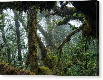 The Mossy Forest Of The Cameron Highlands Canvas Print