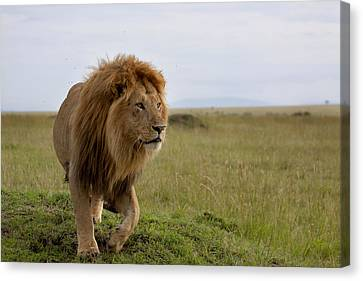 The Most Beautiful Lion Of The Masai Mara Canvas Print by Maggy Meyer