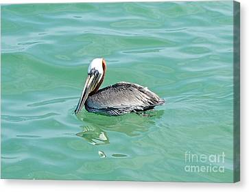 The Napping Pelican Canvas Print by Margie Amberge