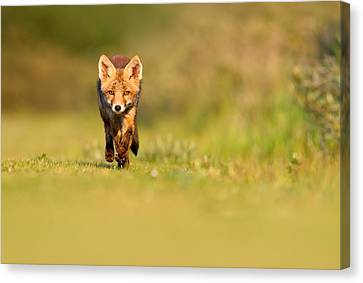 The New Kit On The Grass - Red Fox Cub Canvas Print by Roeselien Raimond