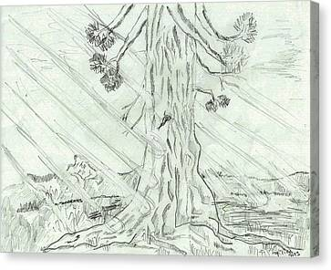 The Old Tree In Spring Light  - Sketch Canvas Print