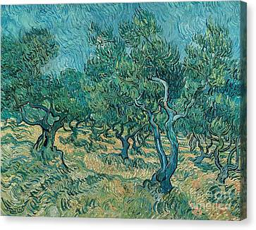 The Olive Grove Canvas Print