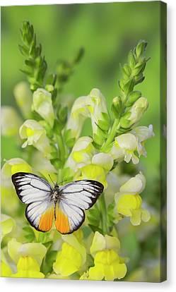 The Orange Gull Butterfly, Cepora Canvas Print