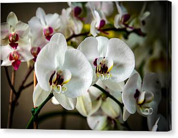 The Orchid Sisters And Backup Singers Canvas Print by John Haldane