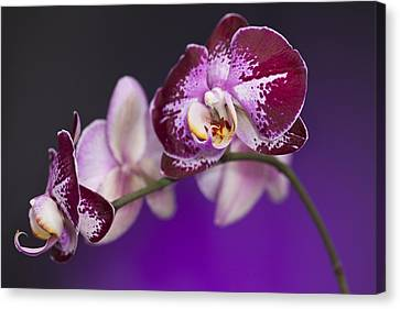 The Orchid Watches Canvas Print