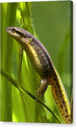 Canvas Print featuring the photograph The Other Newt by Gene Walls