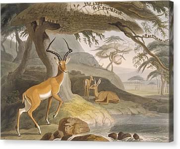 The Pallah, 1804-05 Canvas Print by Samuel Daniell
