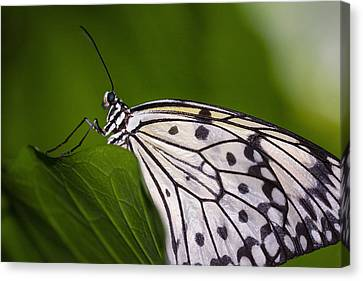 Canvas Print featuring the photograph The Paper Kite Butterfly by Zoe Ferrie