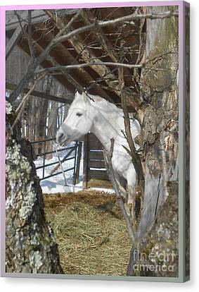 The Paso Fino Stallion At Home Canvas Print by Patricia Keller