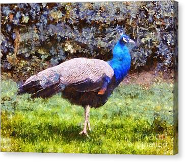 The Peacock Canvas Print by Pixel  Chimp