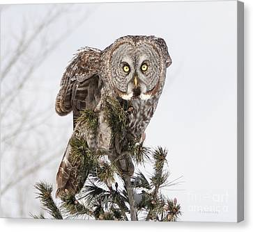 The Perching Prince Canvas Print by Heather King
