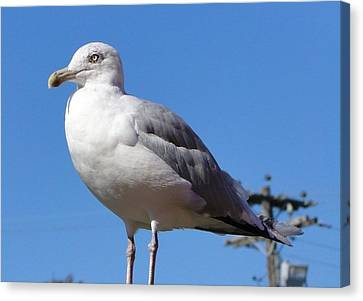 The Perfect Sea Gull  Canvas Print