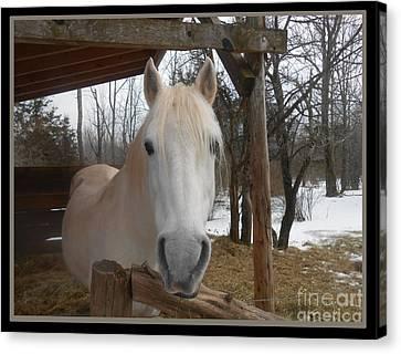 The Picture Perfect Paso Fino Stallion Canvas Print by Patricia Keller