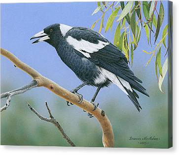 The Pied Piper - Australian Magpie Canvas Print by Frances McMahon