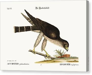 The Pigeon Hawk Canvas Print by Splendid Art Prints