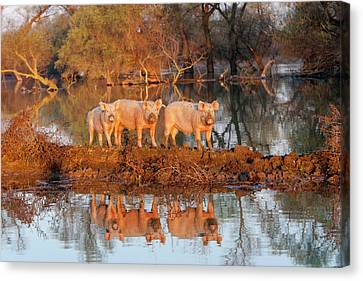 Flooding Canvas Print - The Pigs Of Maliuc, Domestic Animals by Martin Zwick