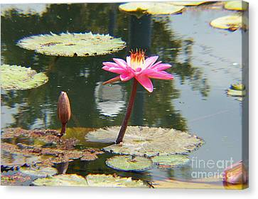 The Pink Water Lily With Lily Pads - One Canvas Print