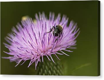 The Pollinator - Bee On Thistle  Canvas Print by Jane Eleanor Nicholas