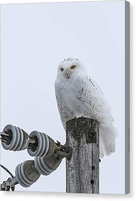 The Power Of The Owl Canvas Print by Thomas Young
