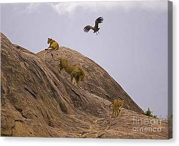 Canvas Print featuring the photograph The Pride by J L Woody Wooden