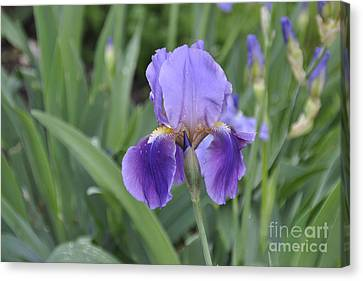 Canvas Print featuring the photograph The Purple Iris by Cheryl McClure