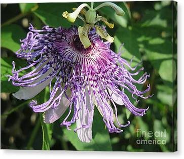 Passiflora Canvas Print - Ornament Of Purple Passion by Kimberlee Baxter