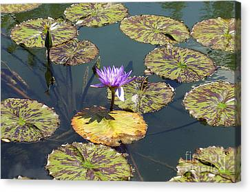 The Purple Water Lily With Lily Pads - Two Canvas Print