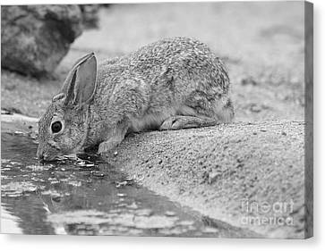 The Rabbit And The Water Canvas Print by Ruth Jolly