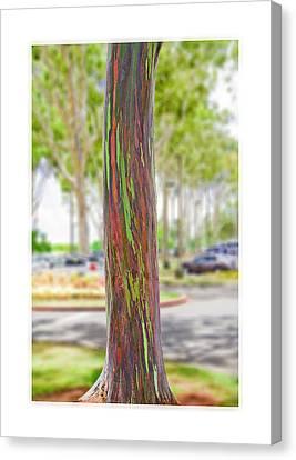 The Rainbow Eucalyptus Tree Canvas Print by MaryJane Armstrong