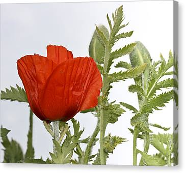 Canvas Print featuring the photograph The Real Red by Nick Mares