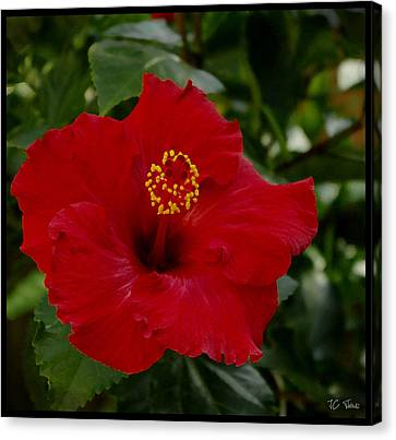 Canvas Print featuring the photograph  Red Hibiscus by James C Thomas