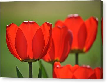 The Red Tulips Canvas Print